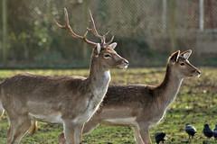Echtpaar Hert (Dimormar!) Tags: deer hertenkamp herten edelherten canoneos350e