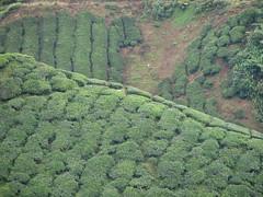 BOH Tea Plantation (Sunshine Monkey) Tags: malaysia cameronhighlands teaplantation boh