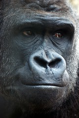 Finding a quiet moment to reflect (tammyjq41) Tags: bravo gorilla 2007 silverback tjs northcarolinazoo magicdonkey tjd specanimal animalkingdomelite abigfave impressedbeauty explore2007 superbmasterpiece diamondclassphotographer