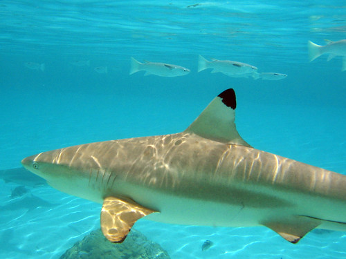 Snorkelling with a Blacktip Shark