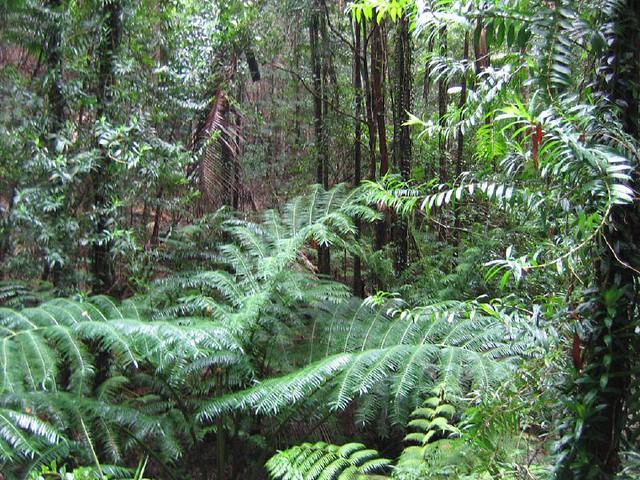 Fraser Island rain forest (2)