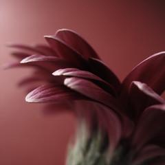 (_vanitY_) Tags: pink flower macro canon bravo searchthebest vanity topf150 blueribbonwinner magicdonkey outstandingshots artlibre powershota640 superaplus aplusphoto duivelsgoed wwwsofieaudiffretcom