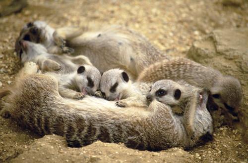 Meerkat Family Breakfast