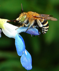 bigtongue (aussiegall) Tags: flowers flower nature fleur animal tongue fleurs insect bravo native bee honey salvia trophy insecte blueribbon specnature spectacularnature specanimal abigfave abigfav bluebandbee