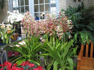 USBG 022307 nuns orchids