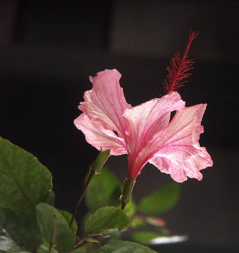 Hibiscus at TBPAC: Close-Up