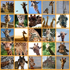 The Hunt Is Over - 20 Months Searching For Giraffes On Flickr - Thank You!! - by gin_able