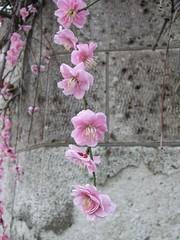 IMG_0510 (aaronwlsn) Tags: japanese plumblossom
