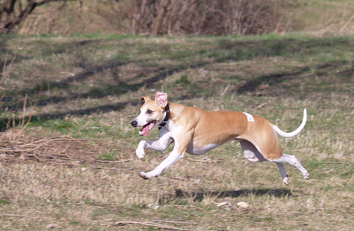 Whippet in action (Marley)