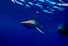 Sandbar Shark (ScottS101) Tags: danger ilovenature island hawaii islands shark pacific oahu teeth galapagos northshore jaws predator allrightsreserved pelagic ilovetheocean copyrightscottsansenbach2008