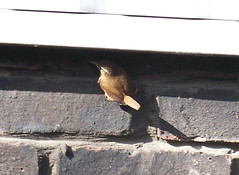 Wren by Russia Dock Woodland