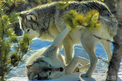 WolvesYellowstone (Steven Ford / snowbasinbumps) Tags: snow sports beautiful utah wolf montana yellowstone ogden wolves canis lupis specanimal abigfave topofutah stevenford beautifuldaysphotos stevenfordfordesign lifeelevated snowbasinbumps fordesignnet utahtravel westerntravel