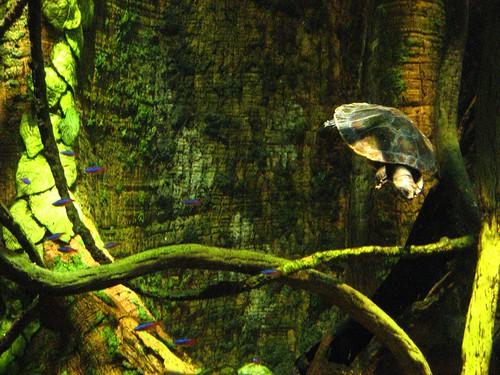 Tetras plus turtle