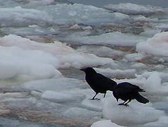 AMERICAN CROWS (Souris & Area Branch  PEI Wildlife Federation) Tags: princeedwardisland pei eastpoint 2007