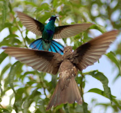 The Faceoff (Alexander Yates) Tags: travel bird latinamerica southamerica nature beauty topv111 ilovenature fight hummingbird ninja flight feeder bolivia battle wildanimal writer faceoff hummer dogfight lapaz novelist hummers gianthummingbird patagonagigas picaflorgigante sparklingvioletear colibricoruscans travelwriter callacoto alexanderyates