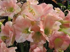 Pink Amaryllis