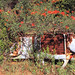 Südafrika: Rostlaube mit  Golden Shower