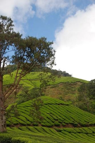 Tea Plantation (4)