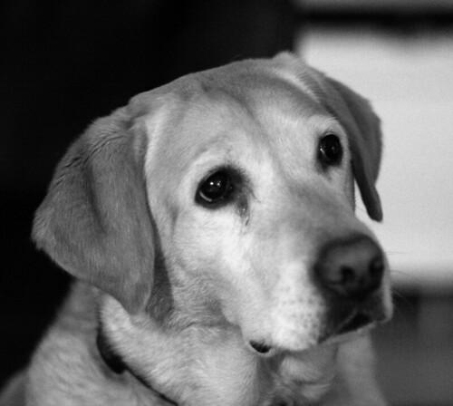 Labrador_0839_w by Aureusbay.