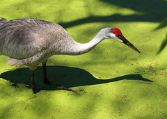 Sandhill Crane and Shadows in Duckweed - by MrClean1982