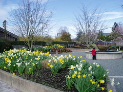 Daffodils and Fountain