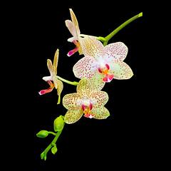 Every Which Way (Leviathor) Tags: orchid flower bravo phalaenopsis excellence interestingness7 magicdonkey flickrsbest seenonexplore anawesomeshot riverfrontartscenter superbmasterpiece superhearts
