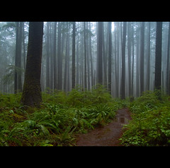 Rainy forest (Tim Ennis) Tags: park blue usa mist fern tree green wet beautiful rain misty mystery forest tim washington woods rainforest path tranquility trail national rainy mysterious serene olympic etsy lovely lush ennis forks healing tranquil enchanted pristine naturesfinest abigfave superaplus aplusphoto flickrdiamond thesecretlifeoftrees timennis