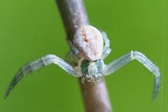 Crab Spider (Ken-ichi) Tags: spiders mtdiablo arachnids crabspider unidentified arachnida mountdiablo chelicerata thomisidae sanramonvalley canonefs60mmf28macrousm