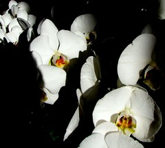 IMG_2287 (growseethis) Tags: kewgardens callalily