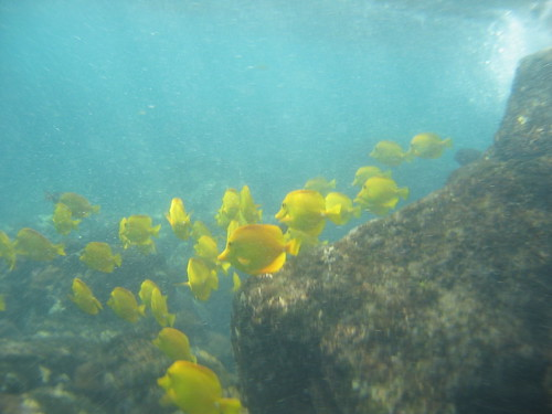 Yellow Tangs by Nivek Woods via Flickr