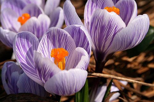More Crocuses