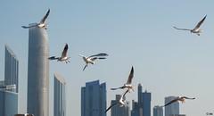 Shearwater over city... (Inian4mIndia) Tags: shearwater bird birds beautiful city nature nikon ngc