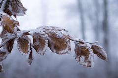 Brouillard givrant (Fabien Husslein) Tags: brouillard givrant frost mist branche nature light lumiere fog feuille automne autumn fall winter hiver givre forest foret bois wood