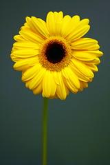 No, I'm not a christmas tree! :) (sunshineband) Tags: flower nature yellow canon catchycolors lafotodelasemana spain picasa2 picasa gerbera 100club 50club