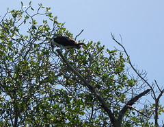 Fish eagle / Osprey pictured in the Margherita mangrove swamp.