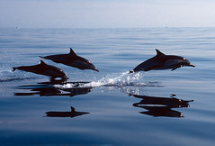 Let's Go (fotolen) Tags: ocean love nature marine bravo pacific dolphins common mammals