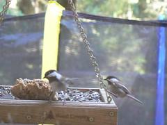 Chickadees enjoying Suet Dough