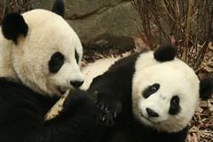 please mommy, pretty please (somesai) Tags: animal animals smithsonian panda endangered pandas butterstick