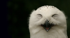 Happy Snowy Owl (Stephen van der Mark) Tags: white cute bird 20d nature beautiful birds canon ilovenature eos zoo top20np interestingness amazing interesting fantastic funny wildlife owl stunning excellent ornithology snowowl nationalgeographic snowyowl naturephotography birdphotography wildlifephotography fivestarsgallery abigfave avianexcellence