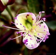 Flor de alcaparra o tapenera (Carmen Lario) Tags: 15fav flower macro 510fav interestingness flor comment caper excellence alcaparra interestingness136 carmenlario abigfave explore10jan07 tpena
