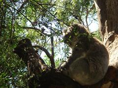 My Fave Koala Pic