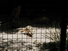 Fennec foxes 3 (flyezilla) Tags: sydney fox tarongazoo fennec