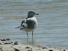 Sea Gull Hunts for Food