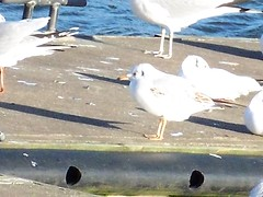 Black-Headed Gulls (full zoom) on Greenland Dock