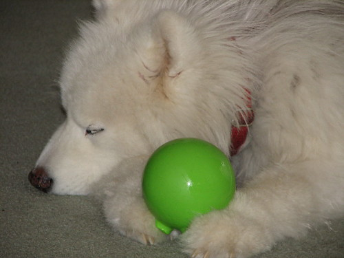 The samoyed is a long haired recongnized dog breed.