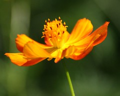 Orange Flower (whoops vision) Tags: flowers orange flower green petals stem abigfave impressedbeauty aplusphoto