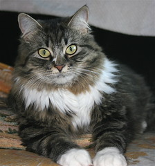 sunna..so grown up! (arny johanns) Tags: pet brown white beautiful cat furry sweet gorgeous gray kitty mature precious kisa kttur norwegianforestcat grownup sunna solovely kittysuperstar impressedbeauty