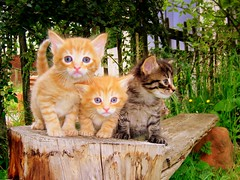 Did you say cute? (Nicolas Valentin) Tags: baby cute beautiful animal cat garden scotland chat soft little young kitty belle chaton socute verycute abigfave bestofcats impressedbeauty aplusphoto