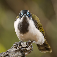 Blue-faced Honeyeater (Jon Thornton) Tags: wild bird nature birds animal nikon d2x australia bluefacedhoneyeater speedlight cls australianbirds sb800 strobist specanimal jonthornton