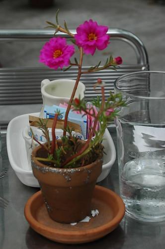 Tabletop Portulaca